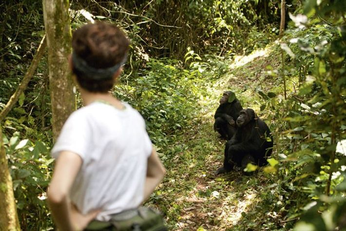 George Washington University graduate student, Kaitlin Wellens, monitors chimps for the Jane Goodall Institute Research Centre, ...