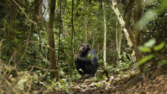 Chimps can move like lightning, so no two searches are the same.