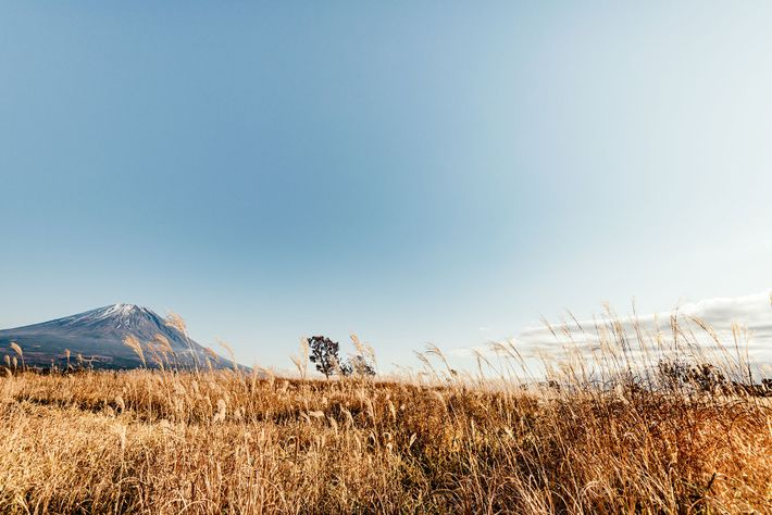 An expanse of Japanese silver grass in Motosu district. It grows to an average height of ...