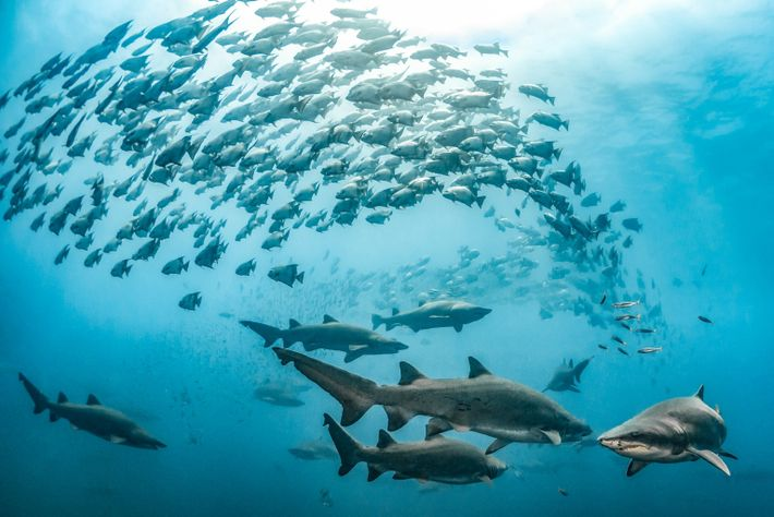 Sand tiger sharks and spade fish swim through the clear waters above a shipwreck off North ...