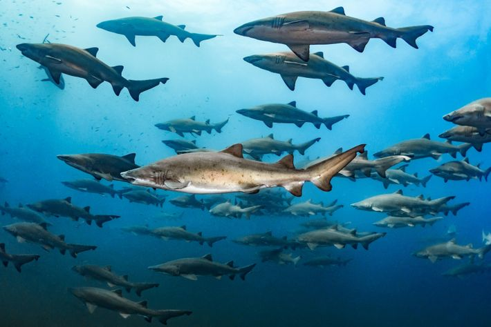 Sand tiger sharks gather above a shipwreck off the coast of North Carolina.