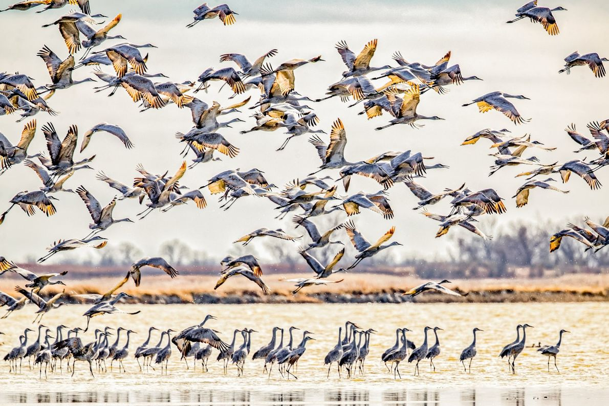 Sandhill cranes taking flight after sunset at Quivira National Wildlife Refuge in Kansas.