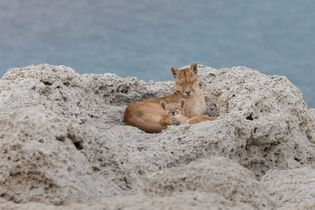 The female puma, known as Sarmiento, sits on the shore of the lake she was named ...