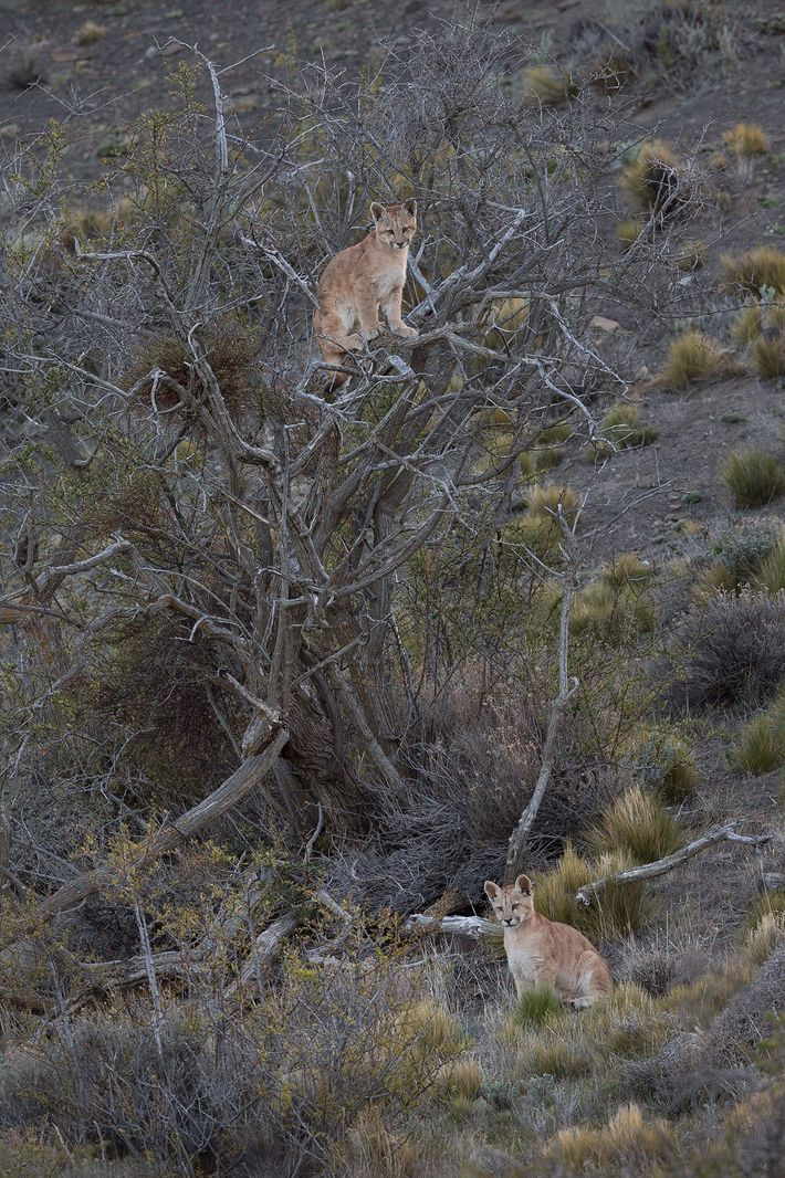 Two four-month-old puma cubs playing in a tree. Puma cubs are able to hunt small prey ...