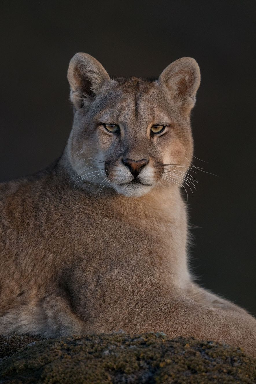 A nine-month-old female puma photographed in Chile's Torres del Paine National Park. Unlike other large felines, ...