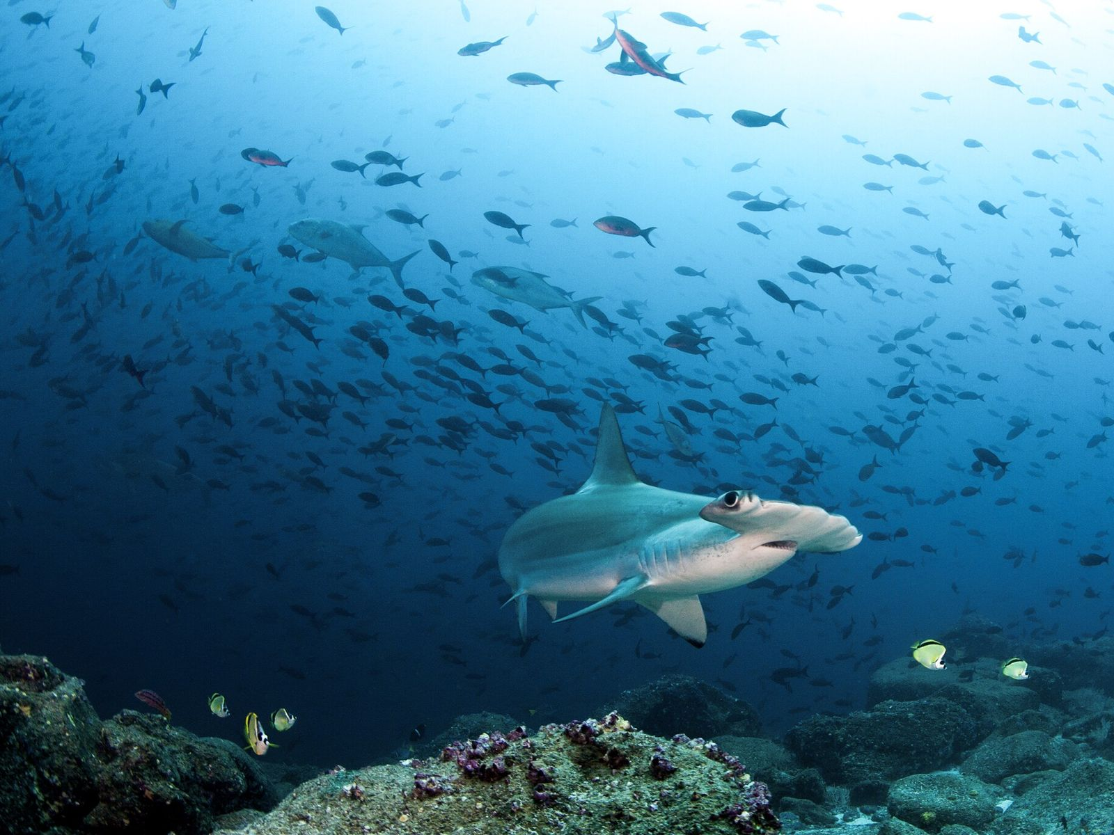 Scalloped hammerheads swim off the Galápagos Islands. The fish is critically endangered due to demand for ...