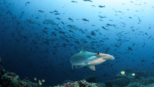 Why a COVID-19 vaccine could further imperil deep-sea sharks