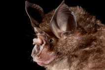 Chinese Horseshoe Bat