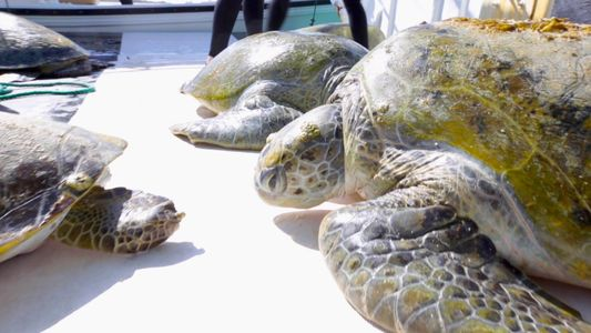 Scientists Track Mysterious Green Sea Turtles in the Persian Gulf