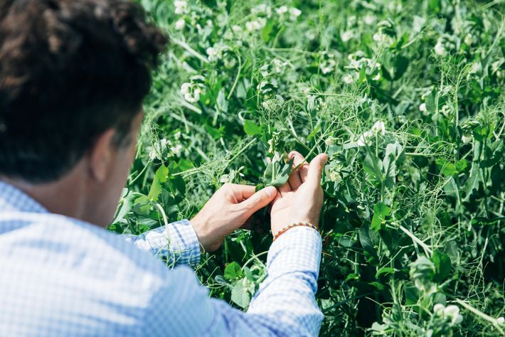 Co-founder Iain Stirling checks the pea crop at Arbikie Highland Estate.