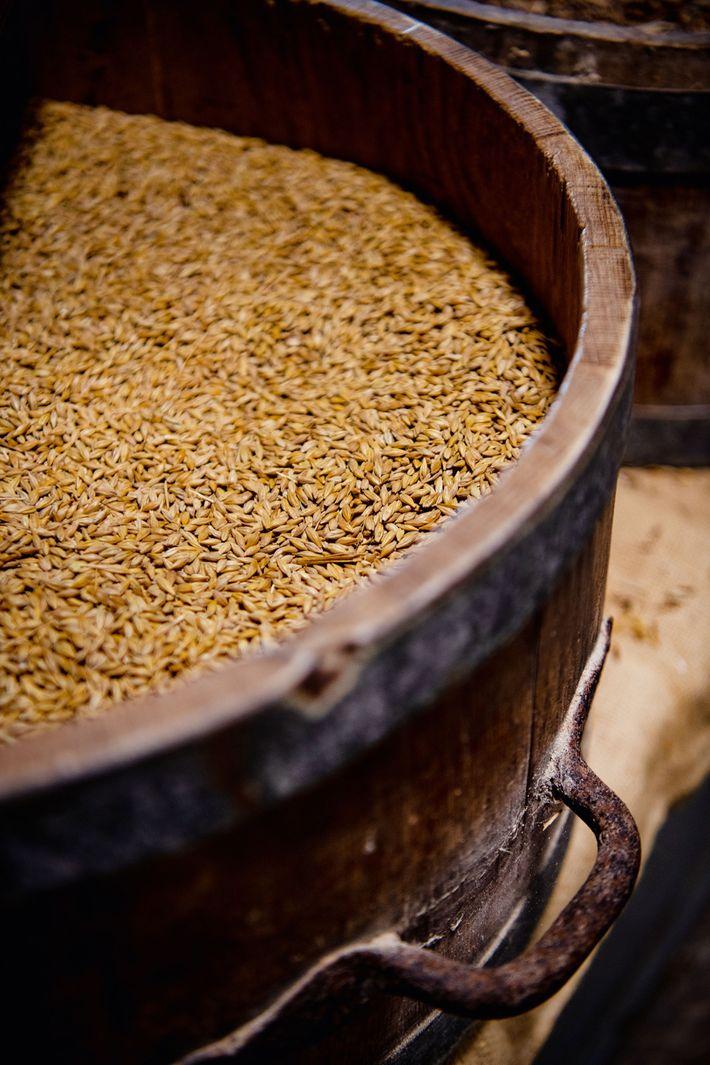 Barley at Barony Mill