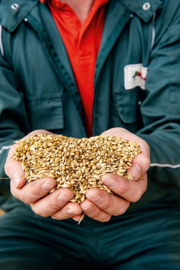 Handful of barley at Ferguson's barley farm