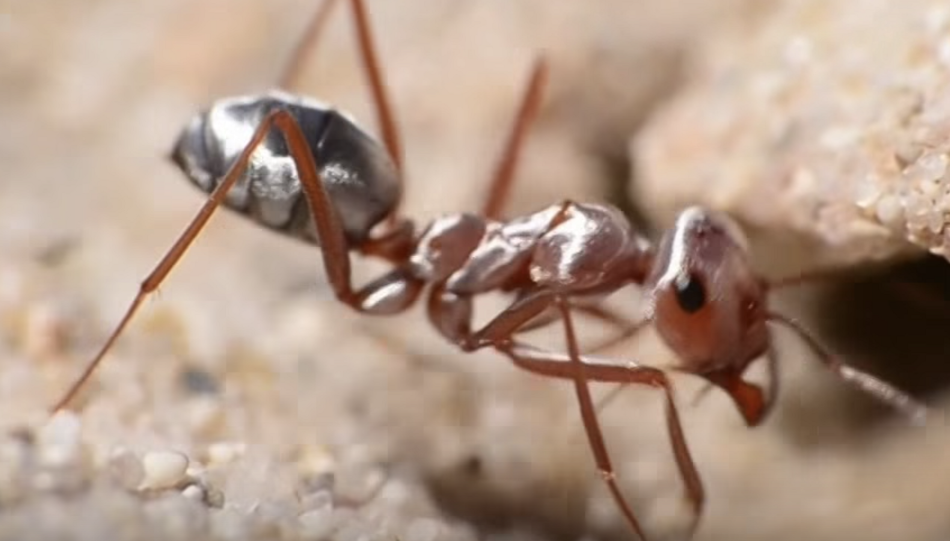 World's fastest ants found racing across the Sahara