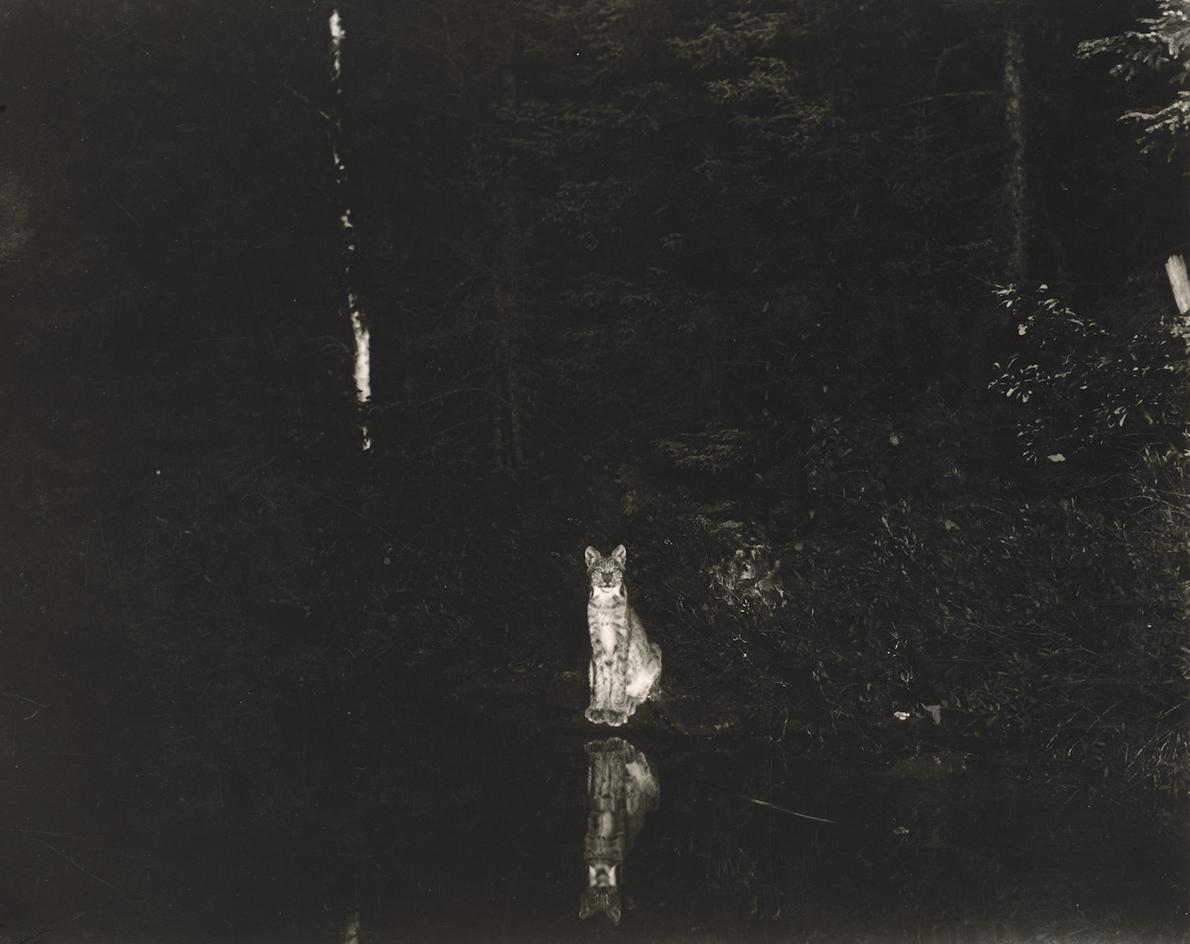 Shiras's famous image of a curious lynx; Loon Lake, near Lake Wanapitei, Ontario, Canada, July 1902. ...