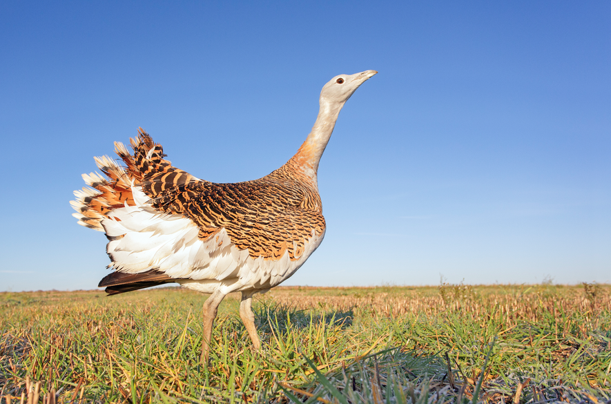 The great bustard is the world's heaviest flying bird, reaching 20kg.