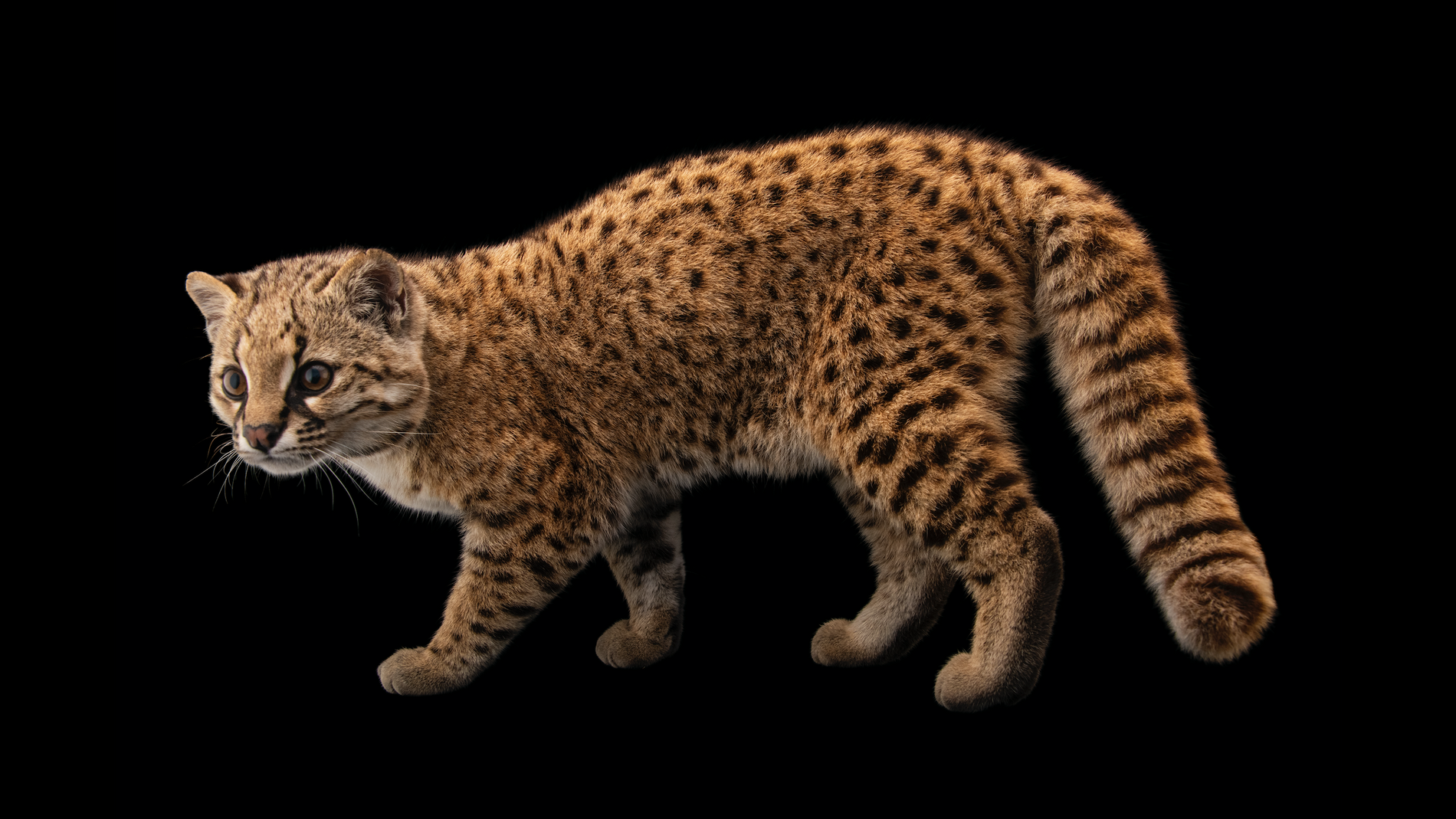 Six Pound Mystery Cat Is Nat Geo Photographer S Milestone Species National Geographic