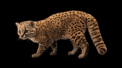 Six-pound 'mystery cat' is Nat Geo photographer's milestone species