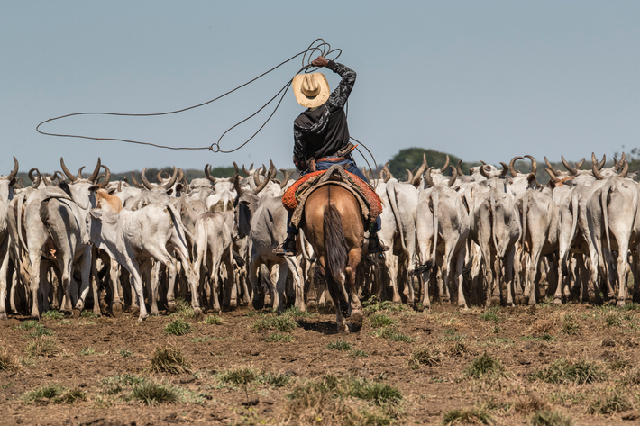 2016: Photographing cowboys in the Pantanal of Mato Grosso in Brazil. The cattle herd has bulls which the area's ...