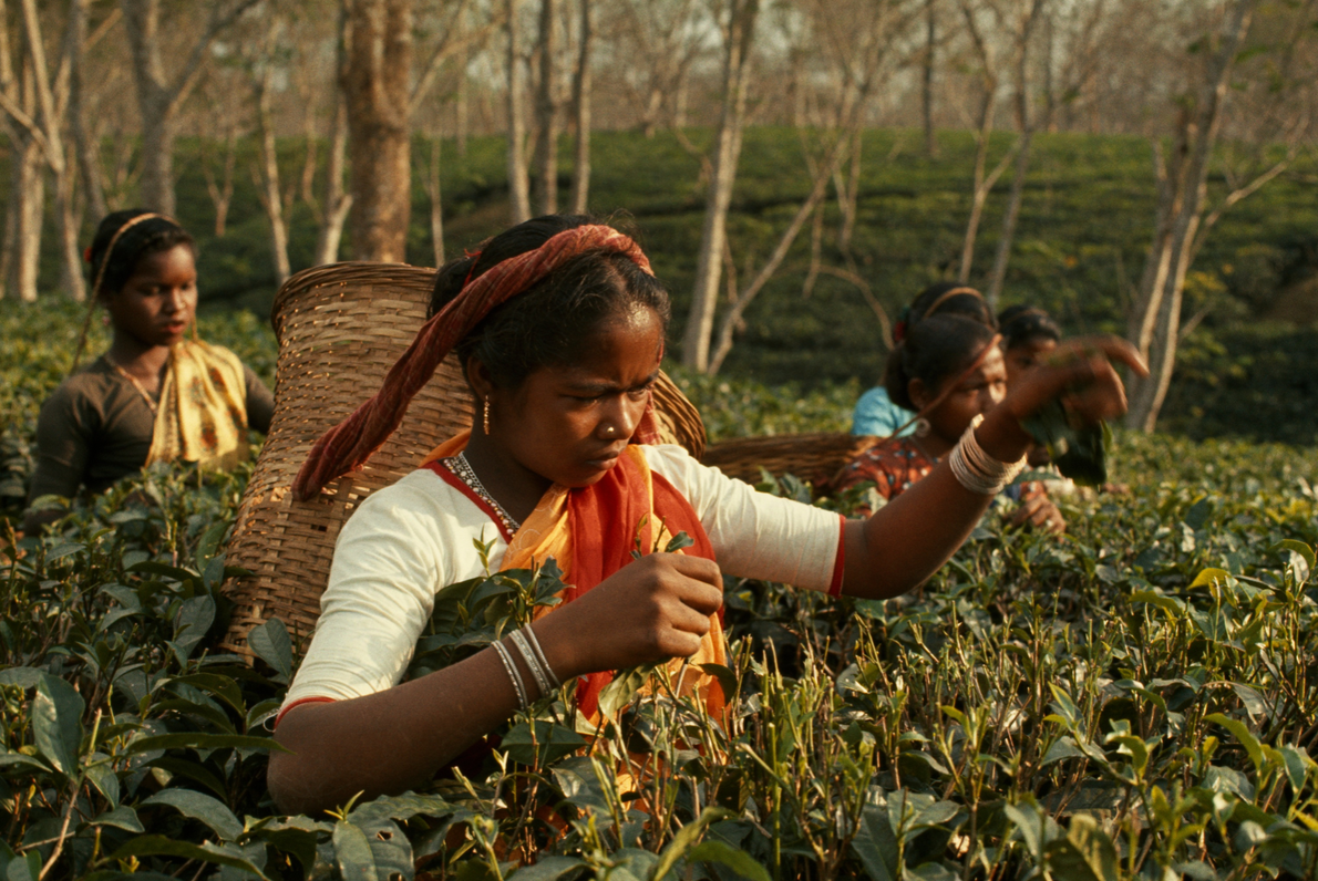 In Sylhet, Bangladesh, women carry baskets on their heads while they harvest tea. When this picture ...