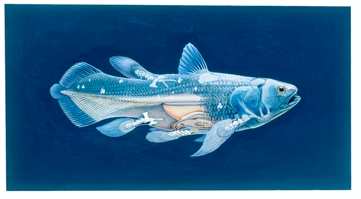 The anatomy of the coelacanth, which spurred much interest when it was rediscovered in 1938. A ...