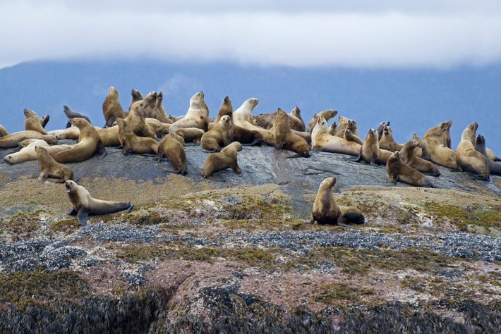 A colony of sea lions resting on a rock in Gwaii Haanas National Park Reserve.