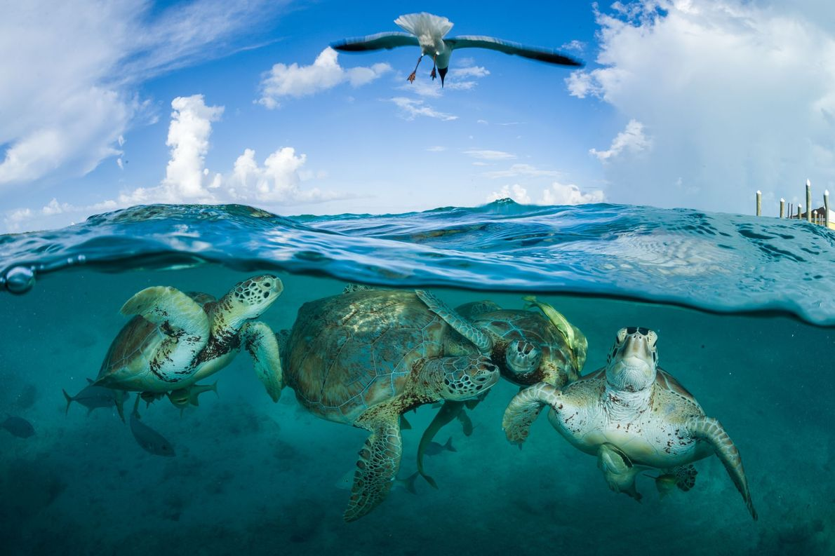 Green sea turtles congregate near a dock in the Bahamas. They were so numerous during Christopher ...