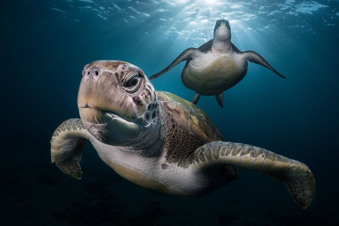 """While scuba diving in Spain's Canary Islands, Lecoeur encountered green turtles. """"It was early morning and ..."""