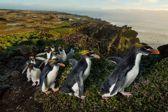 Coats fresh from molting, a column of macaroni penguins trudges up the ridge of an old ...