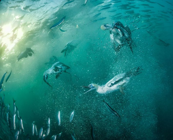 After hitting the water at 60 miles an hour, plunge-diving Cape gannets feast on high-calorie sardines, ...