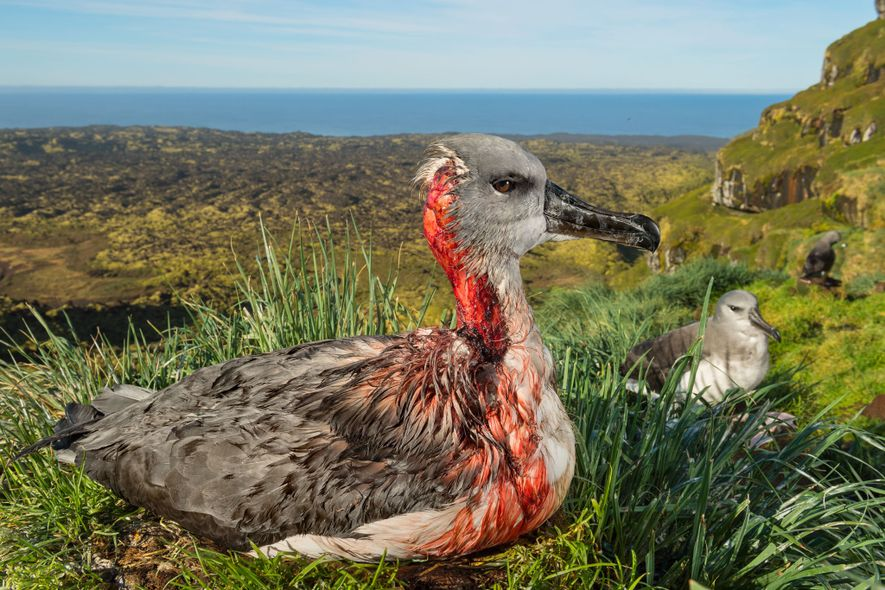 A scalped grey-headed albatross chick on sub-Antarctic Marion Island gruesomely conveys the threat seabirds face from ...