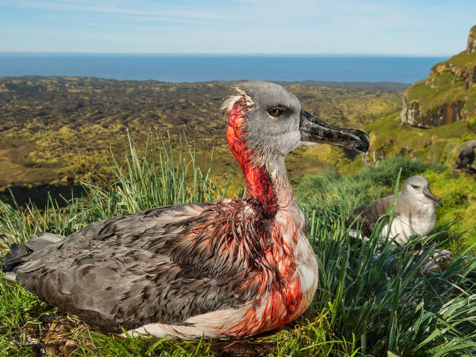 Saving a remote island's birds—by getting rid of its mice