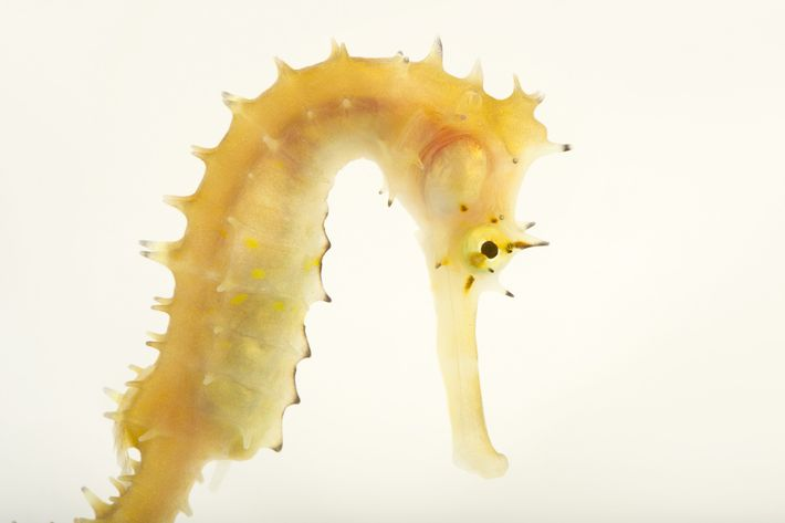 A spiny seahorse ('Hippocampus histrix') photographed at Newport Aquarium in Kentucky.