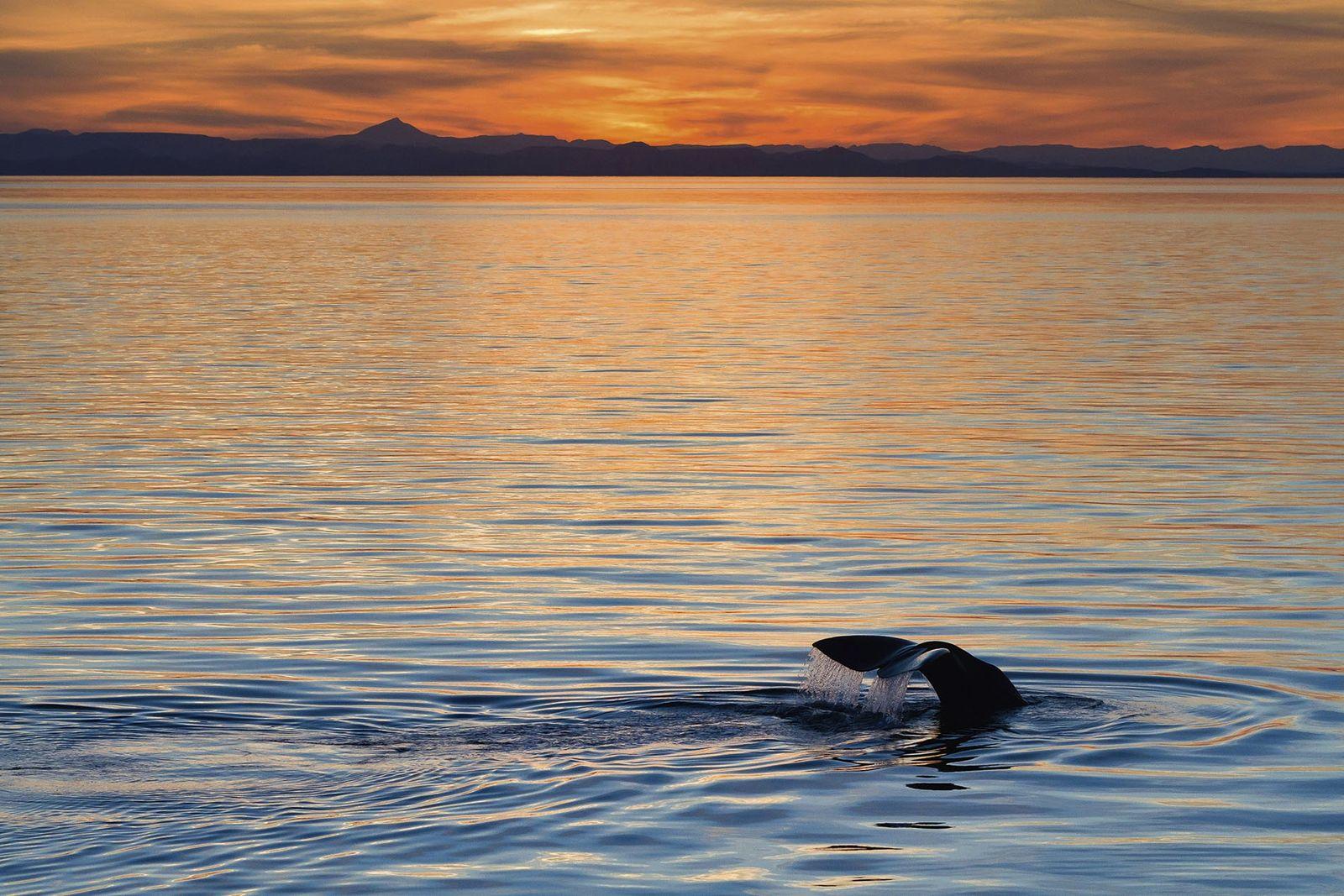Sperm whale breaching at sunrise, Sea of Cortez.