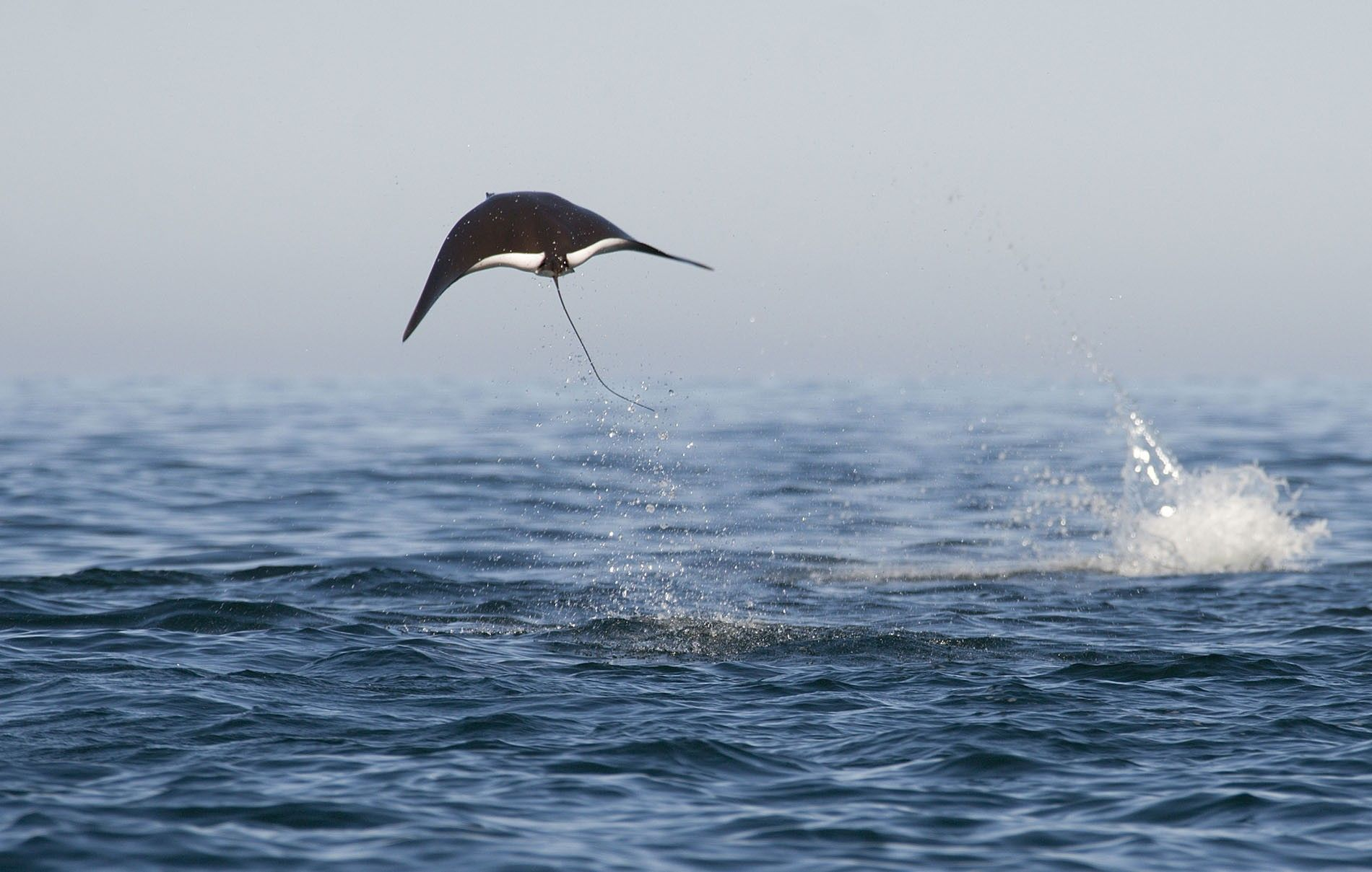 Mobula ray launching itself out of the water.