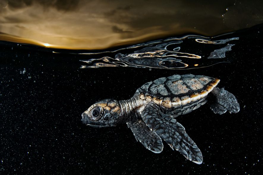 A critically endangered hawksbill sea turtle hatchling (Eretmochelys imbricata), about three inches long, paddles away from shore under the protective cover of dusk. Cuba banned the harvest of sea turtles in 2008.