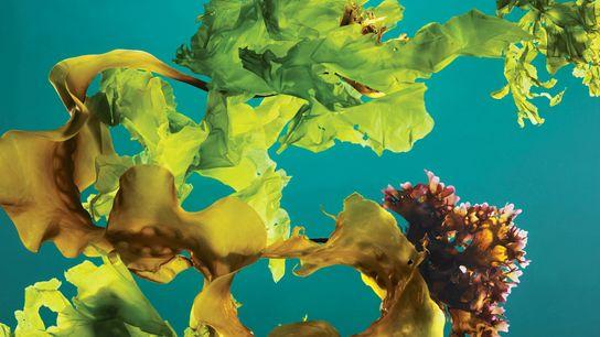 A mix of kelp, Irish moss, and sea lettuce harvested off the coast of Maine.