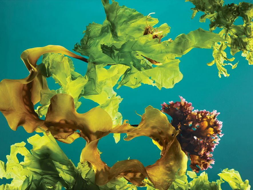 Farmed seaweed 'forests' can help fight climate change