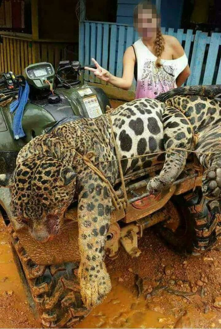A photo from social media obtained by an investigator shows a dead jaguar reportedly killed by ...