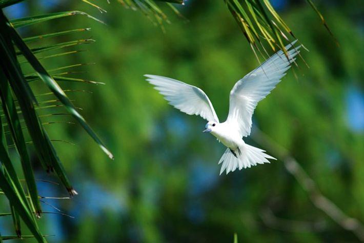 Fairy tern in flight