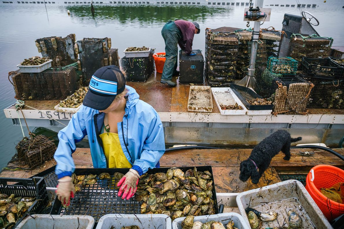 Philip Docker and Hana Nelson—with a little help from Pearl the dog—harvest oysters. Seafood is abundant ...