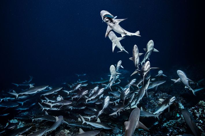 At night grey reef sharks hunt as a pack in the south channel of Fakarava Atoll, ...