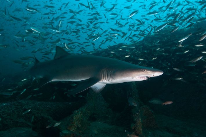 Sand tiger sharks, also known as grey nurse sharks, also probably live longer than we thought.