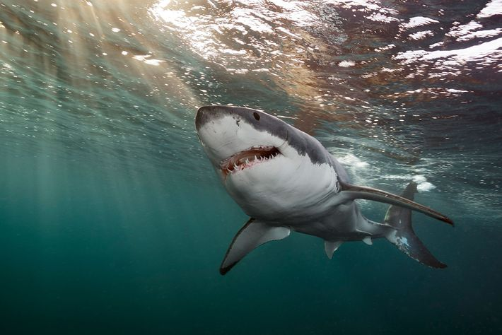 The great white shark (pictured here off Australia's Neptune Islands) is one of the species whose ...