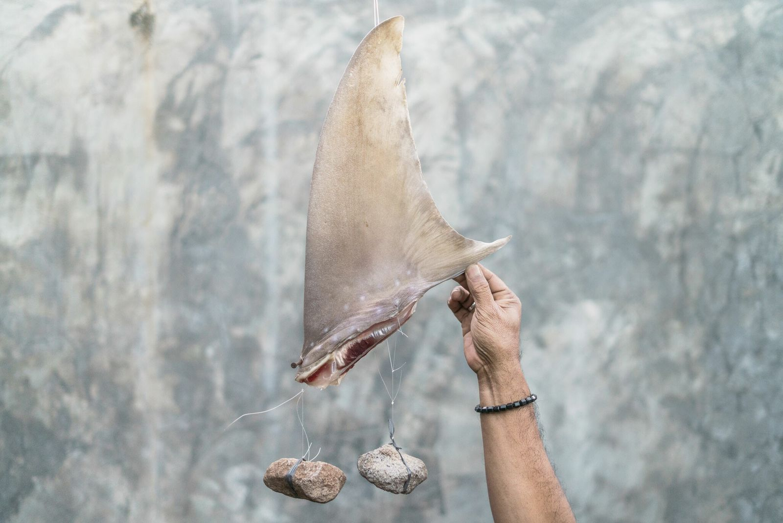 A shark fin is tied with rocks to help it keep its shape as it dries. ...