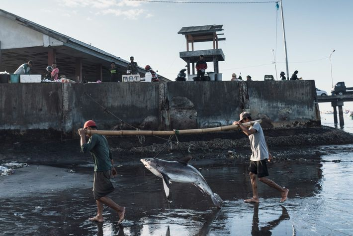 Fishermen unload a shark in Tanjung Luar, on the Indonesian island of Lombok. The country is ...