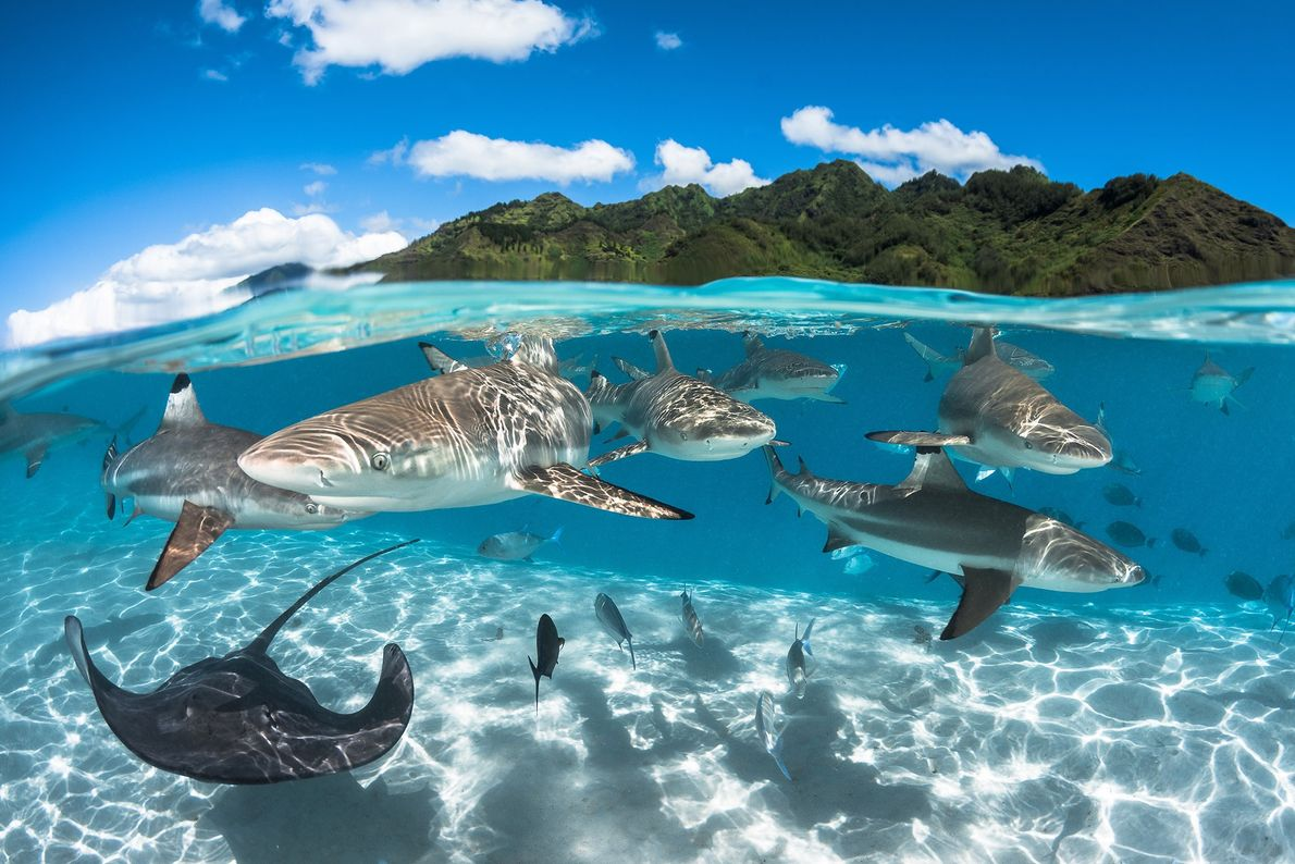 Black tip sharks are seen swimming in a lagoon near Moorea, French Polynesia.