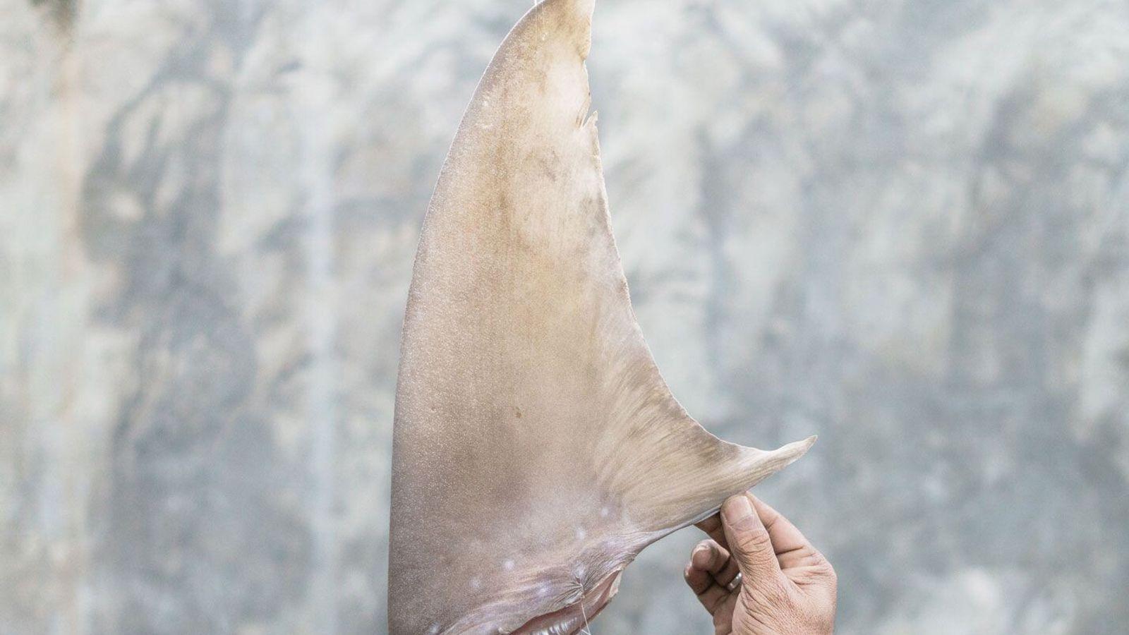 Shark fin in Indonesia