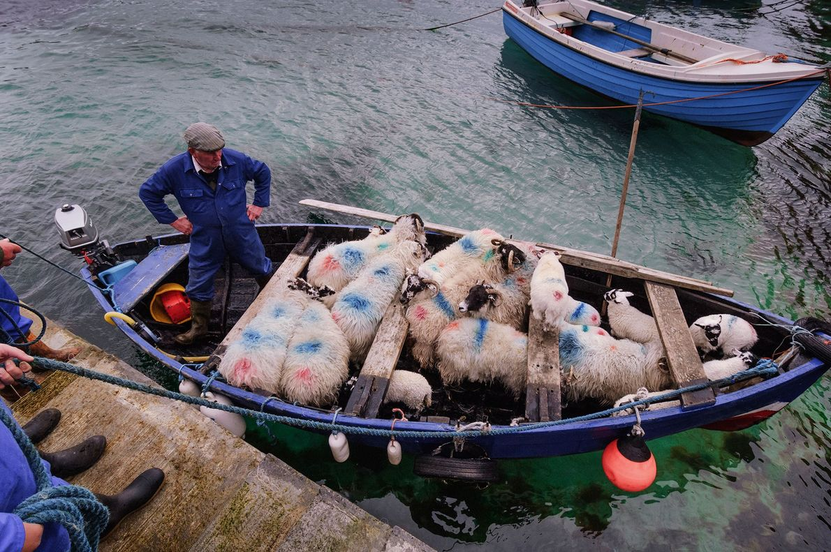 Sheep are moved from the harbour in Valtos on the Isle of Lewis over to the ...