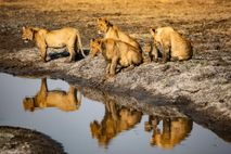 A pride of lions in Busanga Plains, near Shumba Camp in Kafue National Park, Zambia.
