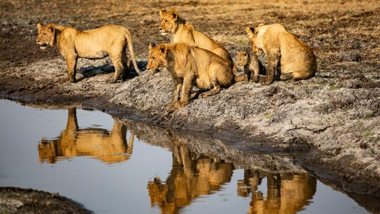 A pride of lionsinBusanga Plains, near Shumba Camp inKafue National Park, Zambia.